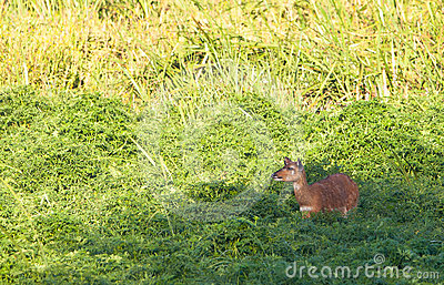 The rare Sitatunga Antelope