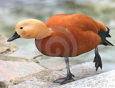 Rare Species Of Duck Royalty Free Stock Photos Image