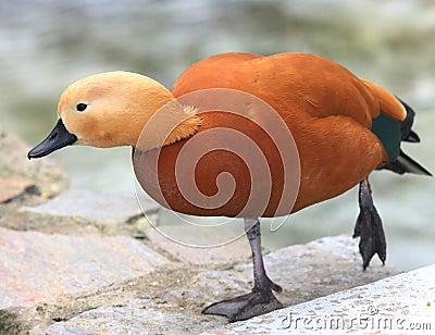 Rare species of duck
