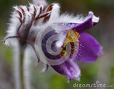 Rare Spring Flower Pulsatilla Nature Symbol Montana  Plants Closeup Beauty