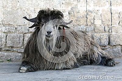Rare Tibetan goat