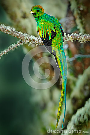 Free Rare Tropic Bird From Mountain Cloud Forest. Resplendent Quetzal, Pharomachrus Mocinno, Magnificent Sacred Green Bird With Very Lo Royalty Free Stock Photography - 70954337