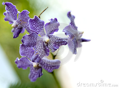 Rare Violet Orchid