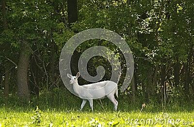 Rare white deer