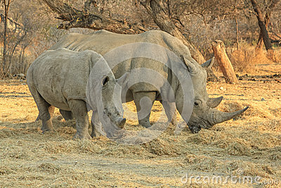 Rare white rhinos: Mom with beby!
