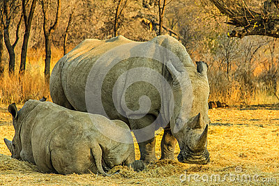 Rare white rhinos: Mom with beby!