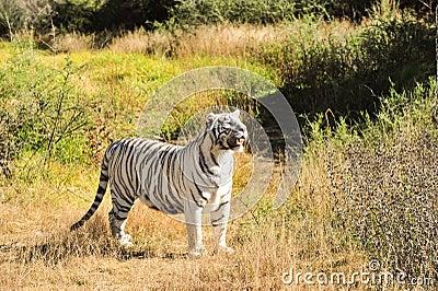 A rare white tiger in the wild