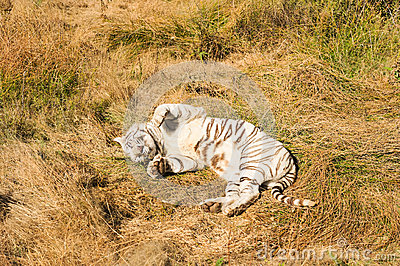 A rare white tiger in the wild
