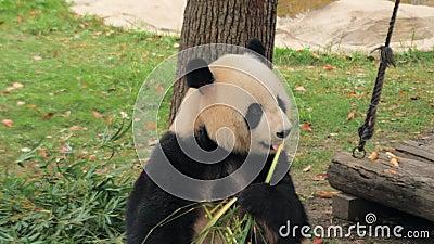 Raros Giant Panda Cute comendo caules de bambu, Zoo Shanghai, China video estoque