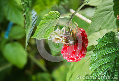 Raspberries growing