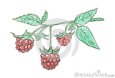 Raspberry berry sketch, garnet
