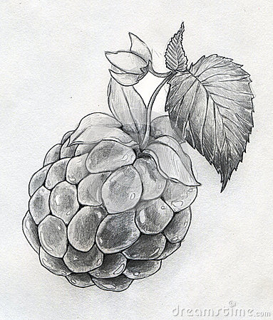 Raspberry close up sketch