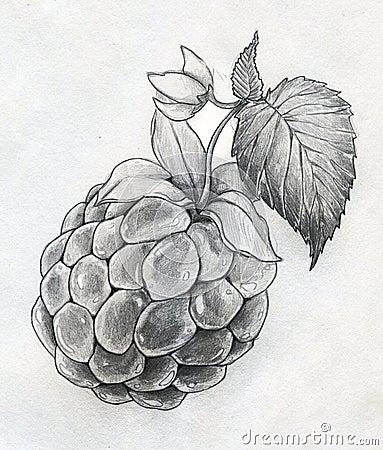 Raspberry Close Up Sketch Royalty Free Stock Photos Image 33020918