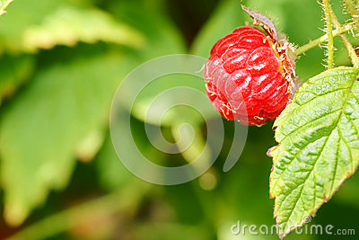 Raspberry fruit on plant