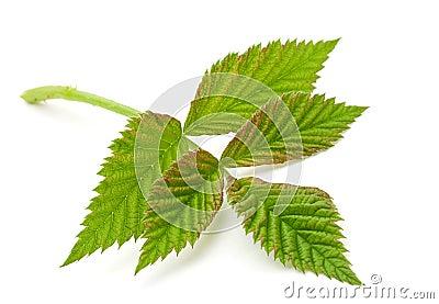 Raspberry green leave
