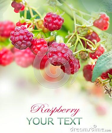 Raspberry. Growing Organic Berries