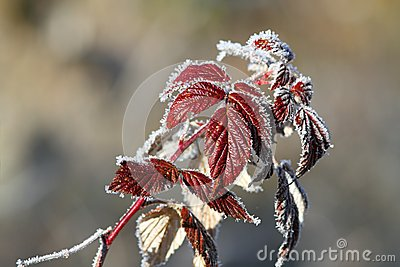Raspberry leaves covered with rime