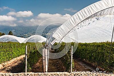 Raspberry Tents