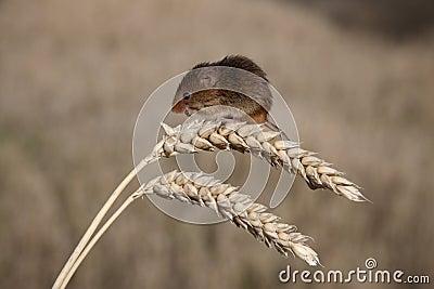 Ratón de cosecha, minutus de Micromys