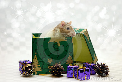 Rat in box