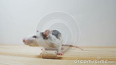 Rat décoratif noir et blanc mignon se tenant sur les jambes de derrière d'isolement sur le fond blanc banque de vidéos