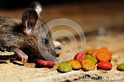 Rat eating feed