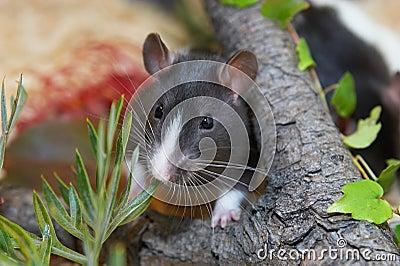 Rat in garden