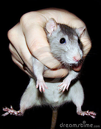 Rat in a grasp Stock Photo