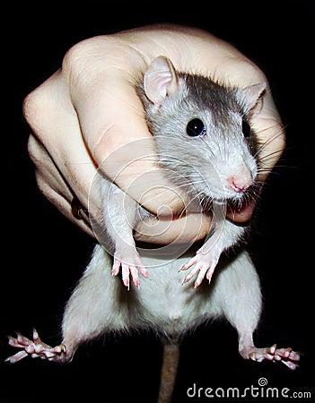 Rat in a grasp