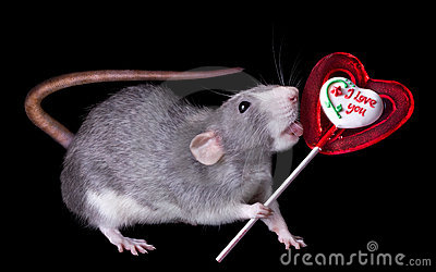 Rat Licking Lollipop