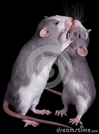 Rat Love Stock Photos - Image: 10351803