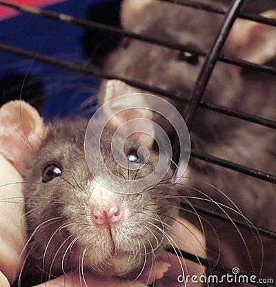 Rat muzzle