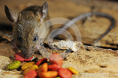 Rat pilfer eat feed