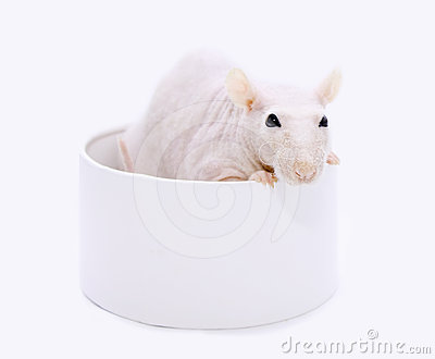 Rat in a round box