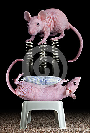 Rat on springs