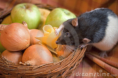 Rat stealing cheese
