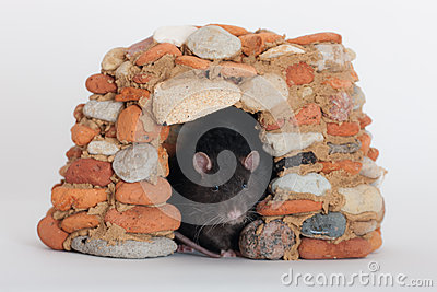 Rat in a stone house