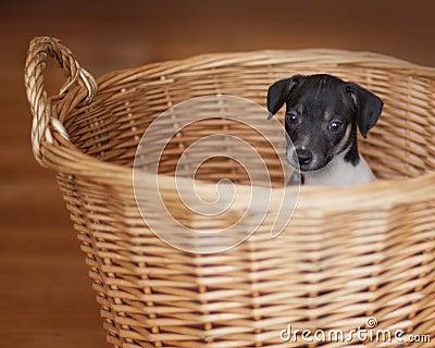 Rat Terrier puppy in wicker basket Stock Photo