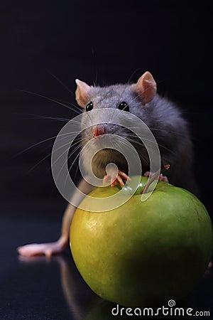 Rat whis aple
