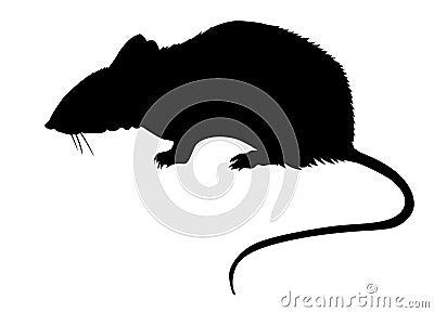 Rat on white background