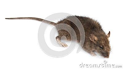 Rata muerta