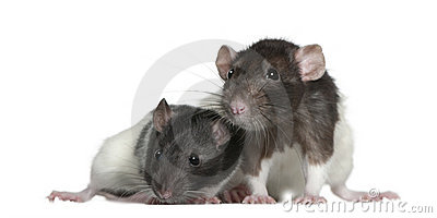 Rats, 9 and 3 months old, in front of white