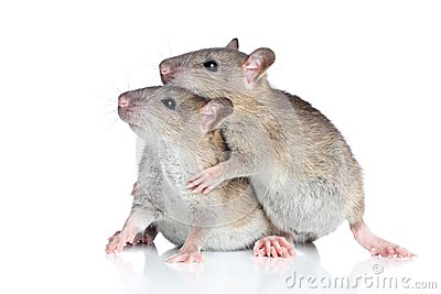Rats cuddling on a white background