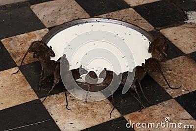 Rats at Deshnock Temple Editorial Photo
