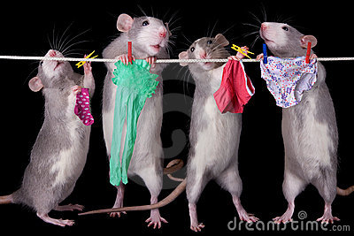 Rats Hanging Laundry