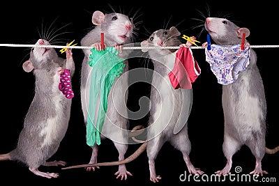 Rats Hanging Laundry