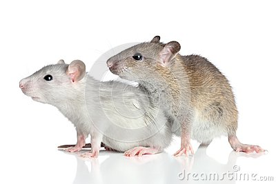 Rats on a white background