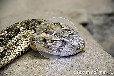 rattle snake head 1