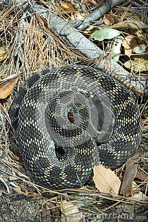 Rattlesnake Royalty Free Stock Images - Image: 28927289