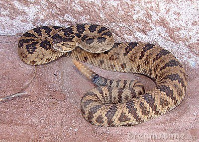 Rattlesnake coiled, rattling and ready to strike